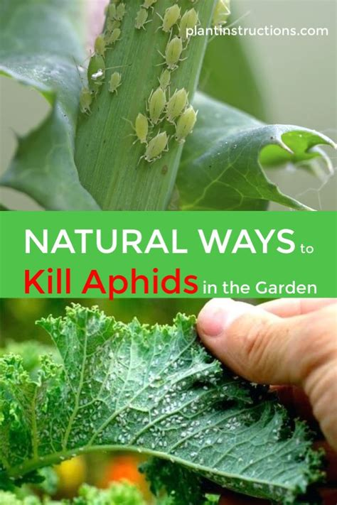 natural ways  kill aphids organic gardening tips