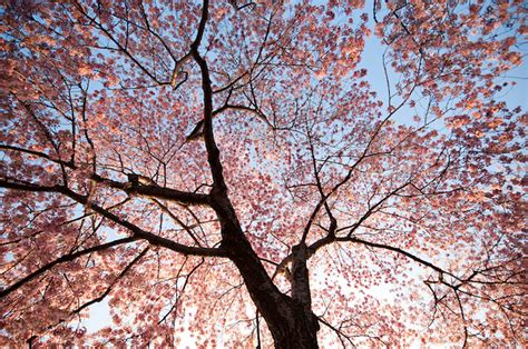 blossom trees beautiful pictures cherry blossom trees beautiful