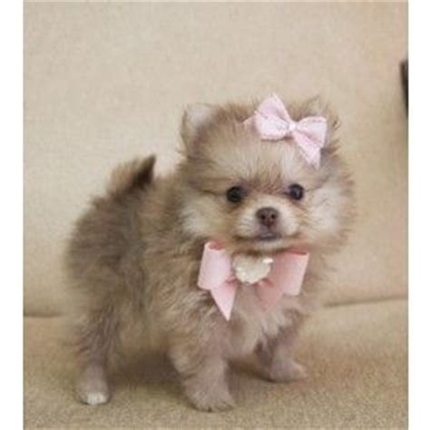 pomeranian puppies for sale in cheap 17 best images about t cup puppies for sale on teacup maltese