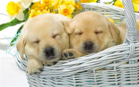puppy in the sleeping puppies in the basket wallpaper 14569