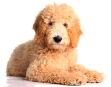 what is a golden retriever and poodle mix called golden retriever poodle mix information on goldendoodles