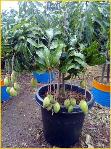 Jual Bibit Buah Naga Jakarta jual bibit tanaman buah mangga 0878 55000 800 jual