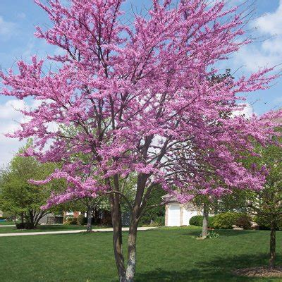 japanese redbud tree photos lilac tree direct gardening