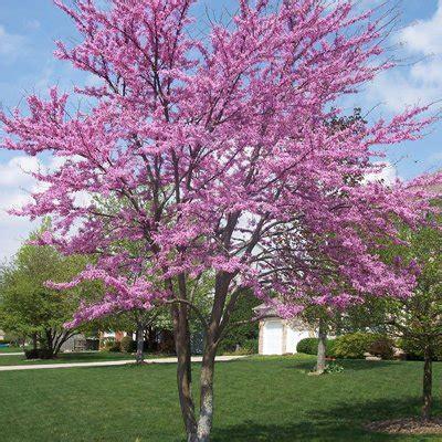 american redbud tree direct gardening