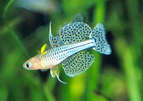Australasian Blue eyes (Rainbowfish)
