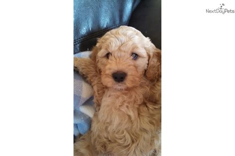 mini goldendoodles utah minidoodle goldendoodle puppy for sale near salt lake