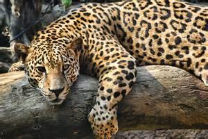 Jaguar Species Jaguar Endangered Species Costa Rica Jose Lino Photography