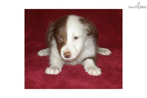 border collie puppies for sale california border collie for sale for 450 near bakersfield california 426b773c dbe1