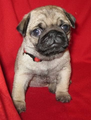 pugs for sale in iowa beautiful akc fawn pug puppies for sale adoption from
