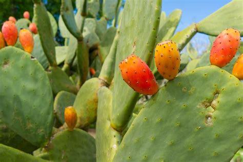 fiori fico fico d india opuntia opuntia piante grasse fico d