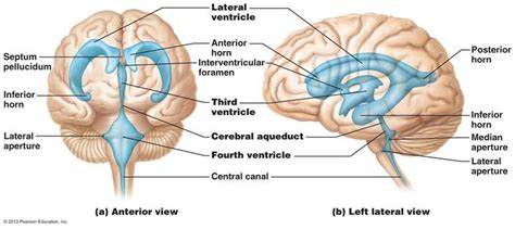 Copy Mri The Central Nervous System 82 best brain images on brain systems and neuroscience