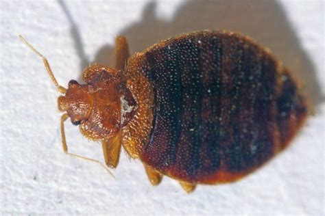 where bed bugs come from bed bugs populations are rising scientists suggest doing