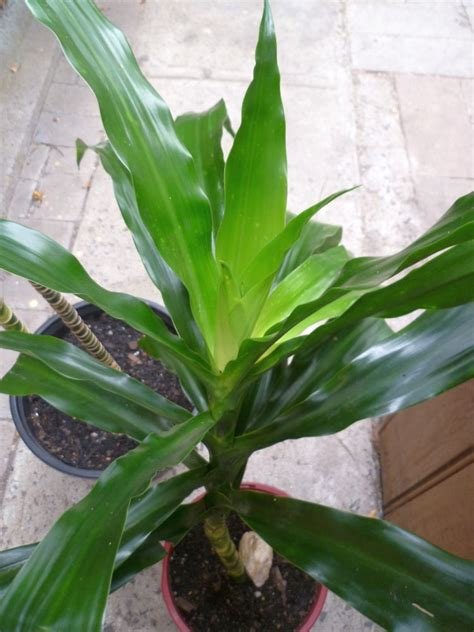 Tanaman Yellow Dracaena dracaena fragrans growing from cutting kiyanti2008 s weblog