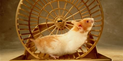 Wheel Hamster Kincir Hamster Mainan Hamster are you a hamster huffpost
