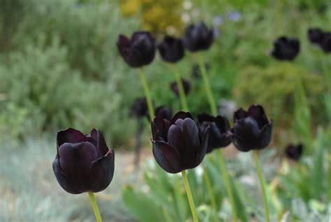 Black Flower Garden Summer Flower Black Flowers