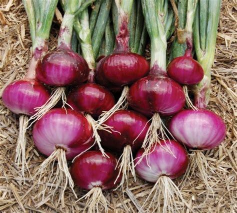 Jual Bibit Sayur Asparagus pengertian tanaman umbi berdasarkan jenis dan contohnya