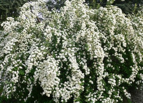 shrub with small white flowers in spirea white flowers cascade a show of snowy white