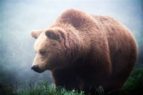 do bears use the bathroom during hibernation 28 images