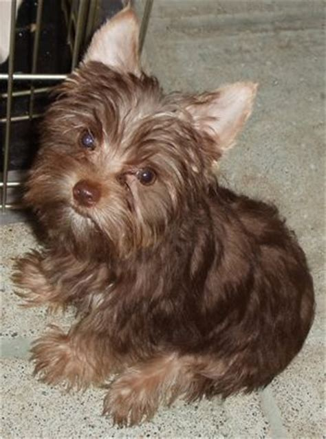 yorkie chocolate 17 best images about chocolate yorkies on stud muffin cookie jars and yorkie