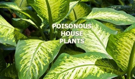 poisonous house plants poisonous house plants natural home remedies guide