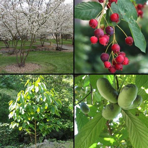 paw paw fruit tree greenweaver landscapes llc