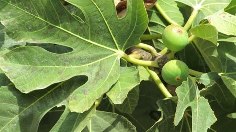 5 fruits of israel fig tree with fruit at the taninim nature reserve israel