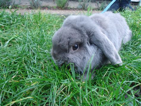Lop Cd lop for sale rabbits breed information omlet