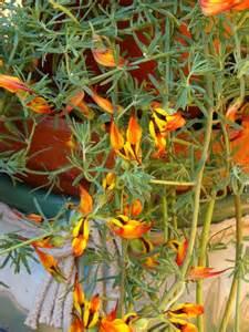 Trailing Lotus Plant Parrots Beak Garden Coach Photos
