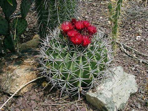Find Pictures Of Alamos Succs Ferocactus Emoryi Ssp Emoryi Emory Barrel Cactus Biznaga