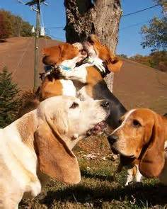How Much Do Basset Hounds Shed by 1000 Images About Basset Hounds On Basset