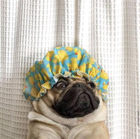 pug fever 17 best images about pug fever on pug pets and puppys