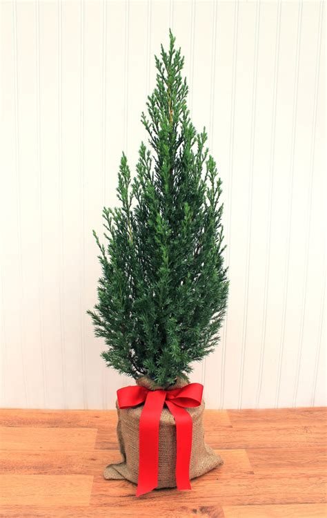 28 best juniper christmas tree juniper spruce