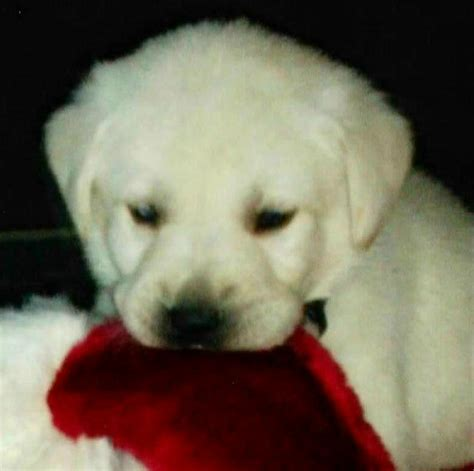 free puppies riverside labrador puppies akc stud service for sale adoption from norco california riverside