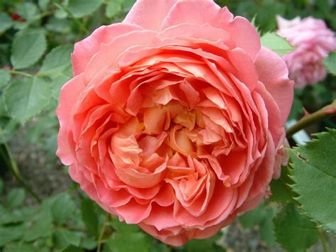 jubilee celebration aushunter david austin english roses old garden roses rose catalog
