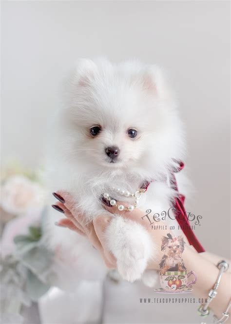 pomeranian boutique where can i find a teacup pomeranian goldenacresdogs