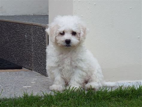 miniature bichon frise puppies for sale beautiful bichon frise puppies for sale llanelli carmarthenshire pets4homes