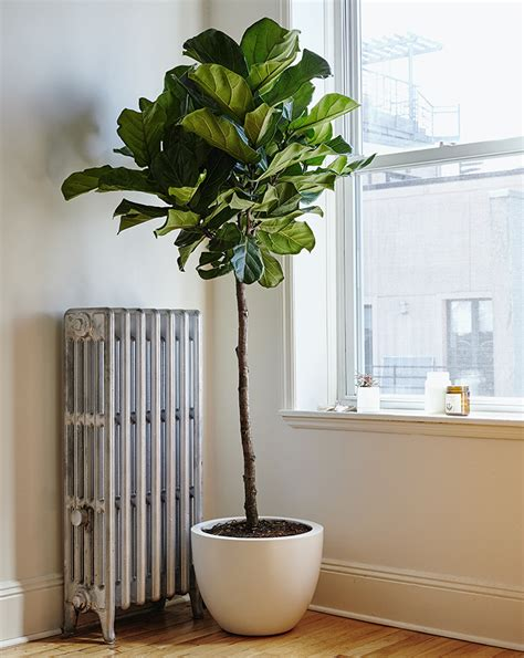 fiddle leaf fig considering the fiddle leaf fig gardenista