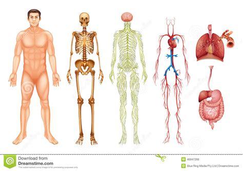 imagenes de representaciones realistas del cuerpo humano sistemas del cuerpo humano ilustraci 243 n del vector imagen