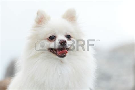 white fluffy teacup pomeranian puppies white fluffy pomeranian puppies akita three www pomariyan cat hd picher litle pups