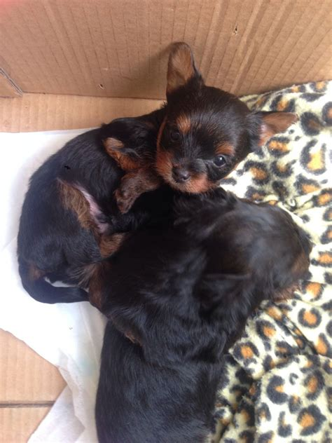 miniature yorkies for sale uk 3 mini terriers for sale east pets4homes
