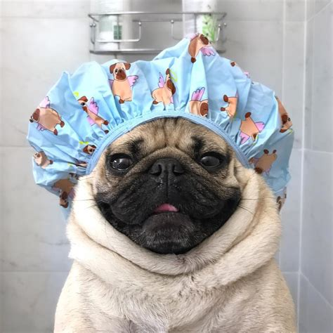 pug a lot of water doug the pug no instagram quot save water shower with a pug quot doug pugs