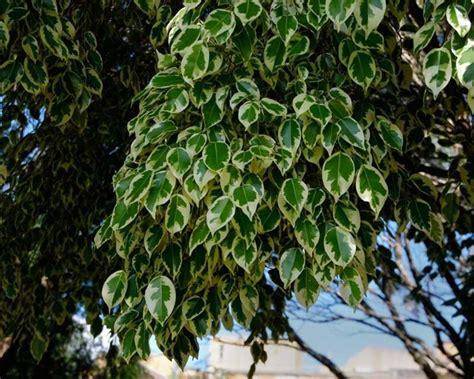 Potatura Ficus Benjamin by Bengiamino Ficus Benjamina Ficus Benjamina Piante Da