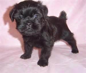 affenpinscher mix puppies for sale affenpinscher puppies altamonte springs fl asnclassifieds