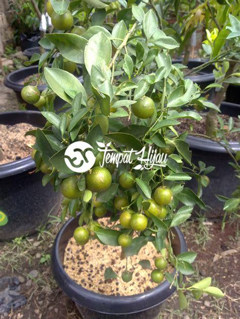 Bibit Mangga Alpukat Trubus cara agar tanaman buah dalam pot tabulot berbuah