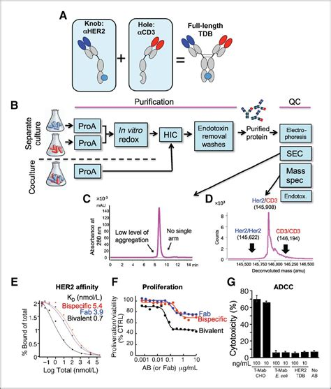 antitumor efficacy of a bispecific antibody that targets