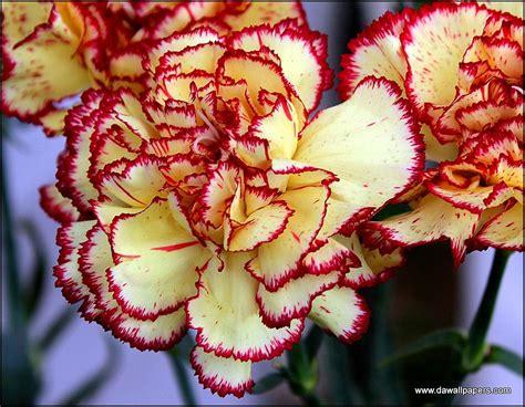 carnation color bi color carnations carnation color carnation flower