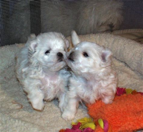 maltese puppy cost cost maltese puppies image search results