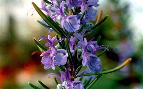 fiori rosmarino rosmarino coltivazione aromatiche coltivazione rosmarino