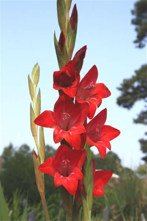 jual umbi bibit bunga gladiol merah  lapak cedrus cedrus