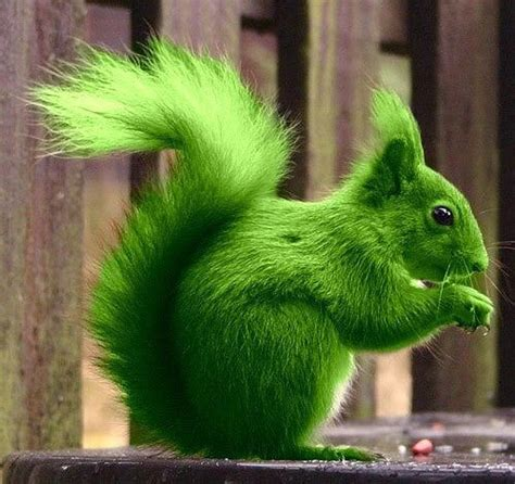 squirrel rubber st with all this talk of colored squirrels check out